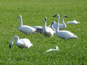 skagit valley snow geese swans