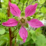 North Cascades Wildflower Tours salmonberry