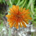 sauk mountain june wildflower hiking tour agoseris