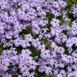 sauk mountain june wildflower hiking tour phlox