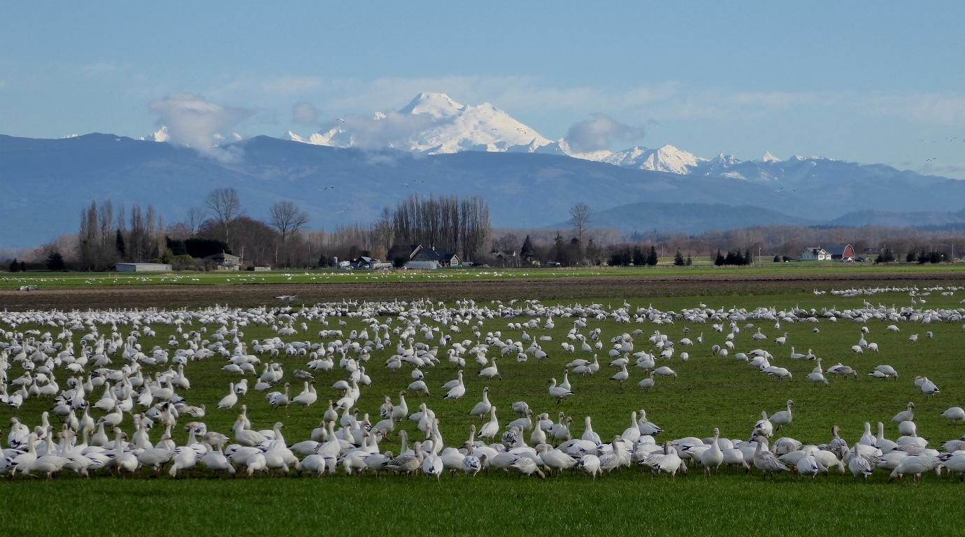skagit valley geese swans eco tour