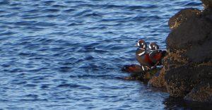 skagit birding tours harlequin ducks