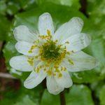 North Cascades Wildflower Tours marigold