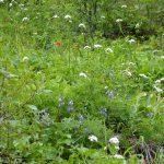 sauk mountain june wildflower hiking tour flowers