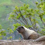 sauk mountain june wildflower hiking tour marmot
