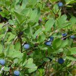 Mount Baker Summer Guided Day Hike blueberries