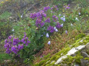 guided wildflower fall hikes - bluebells & penstemons