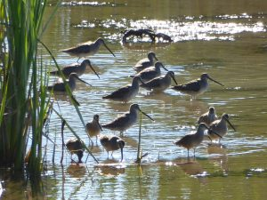 skagit birding eco tour - dowitchers
