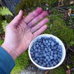 Mt Baker, Mt Rainier, Olympics Fall Guided Hikes picked blueberries