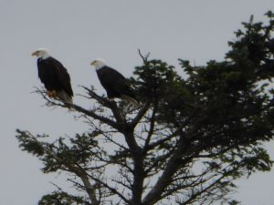 San Juan Islands Birdwatching Tours bald eagles