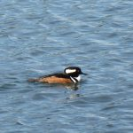 San Juan Islands Birdwatching Tours hooded merganser
