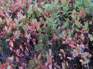North Cascades Fall Photo Tours wild blueberries