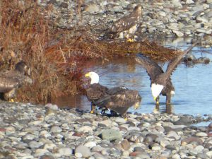 skagit eagles winter eco tour - bald eagles eating salmon