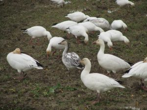 Winter Birding for Kids, snow geese
