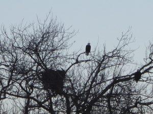 Winter Birding for Kids, bald eagles and nest