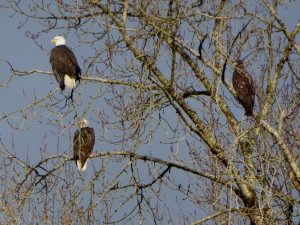 skagit eagles winter eco tour - eagles on tree by river