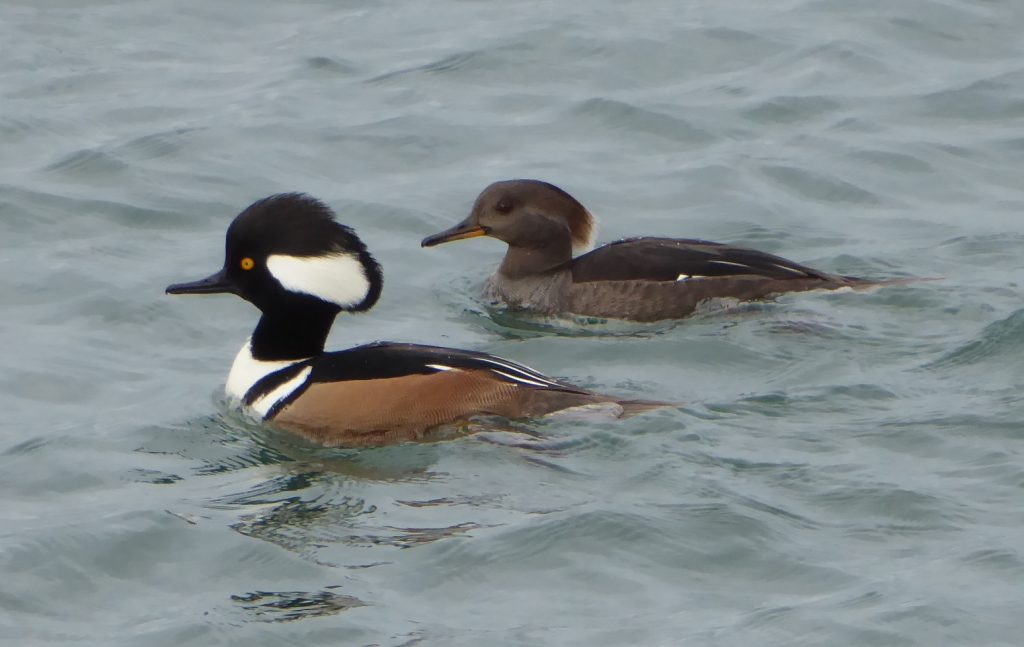 skagit birding eco tour - hooded mergansers