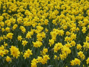 skagit valley tulips daffodils tour - daffodils