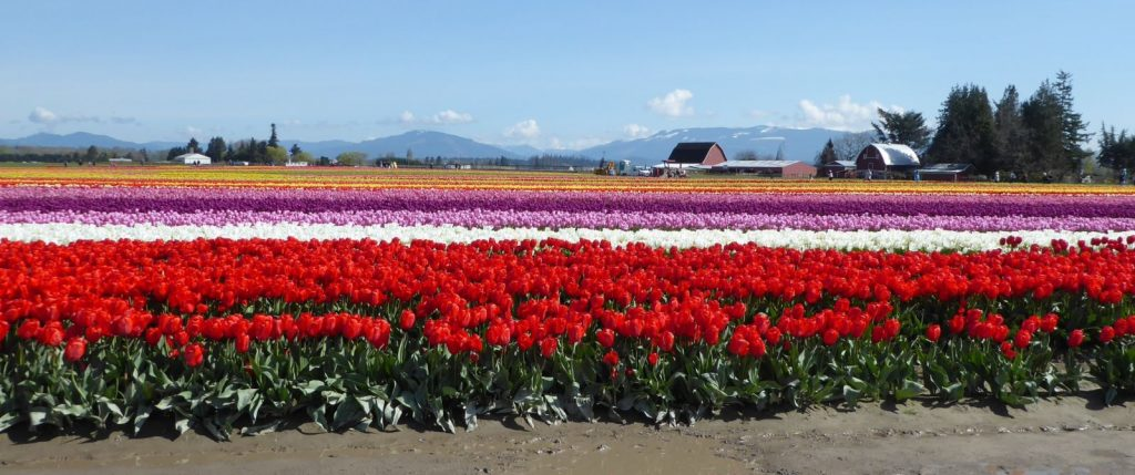 skagit valley tulips daffodils tour - tulip town