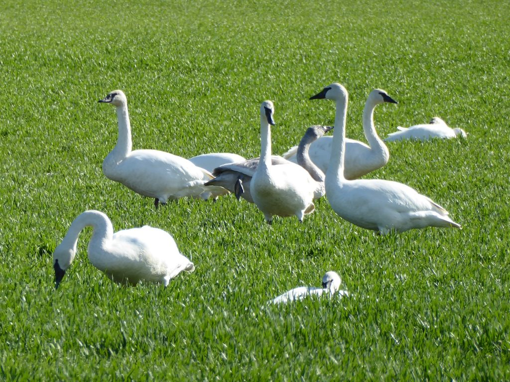 skagit valley geese tour swans