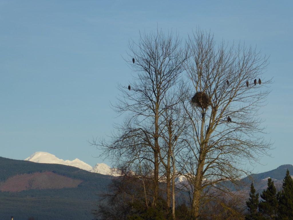 skagit eagles eco tour nest