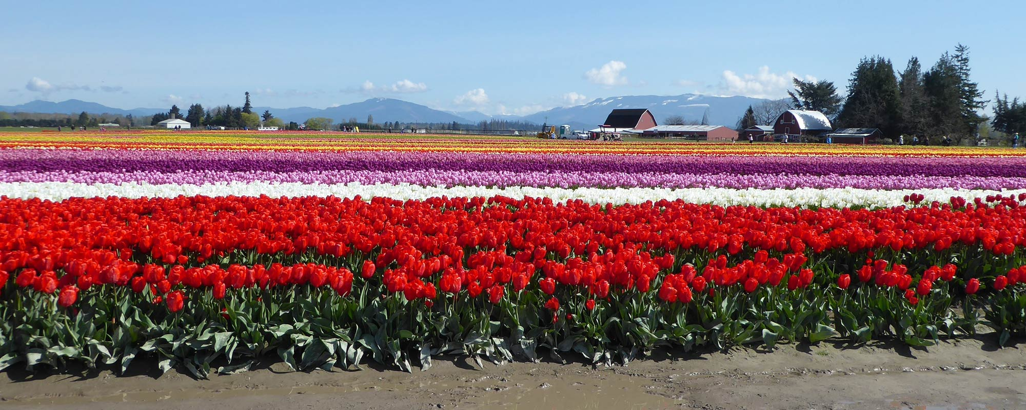 skagit valley tulip tours local company guide